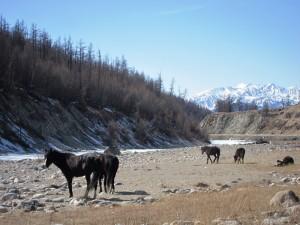 Тункинская долина, лошади